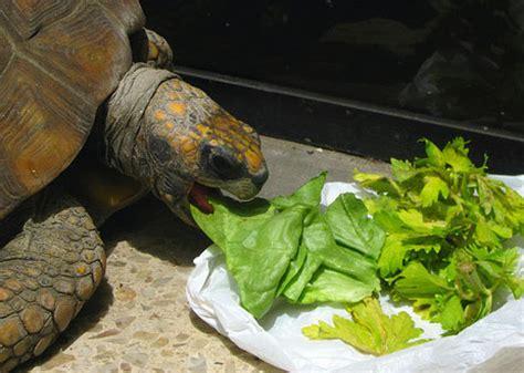 ¿Qué comen las tortugas terrestres? | Infoexóticos