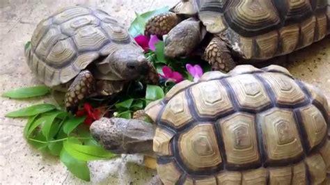 Que comen las tortugas? Chilensis   Tortuga Terrestre ...