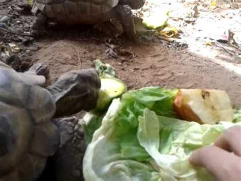 Que comen las tortugas???   YouTube