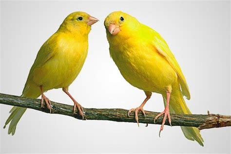 ¿Qué comen los canarios?