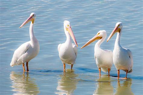 Que Comen Los Pelicanos? 2019   Donde Viven, Como Nacen