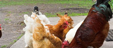 Qué comen y cómo se alimentan los Pollos.