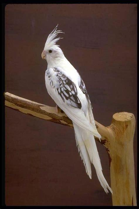 Que cosa mas bellaaaaa | Preciosas aves | Birds, Cockatiel ...