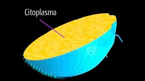 ¿Qué es el citoplasma? Funciones, estructura y características