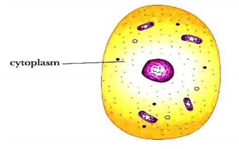 ¿Qué es el citoplasma?