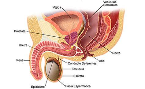 ¿Qué hay que saber acerca de la próstata?   Universidad ...