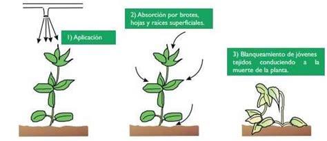 Que herbicidas elegir para el ajo ⋆ Farmer