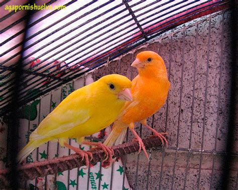 ¿Qué pájaro es el ideal para tener de mascota? | Agapornis ...
