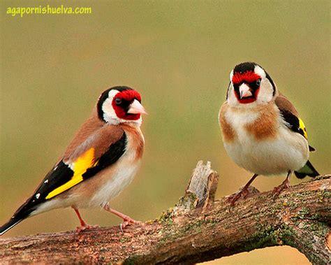¿Qué pájaro es el ideal para tener de mascota? 【 AGAPORNIS ...