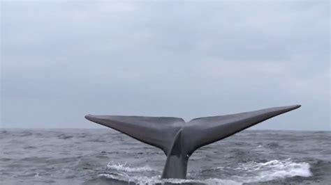 ¿Qué sabes de la ballena azul?   YouTube