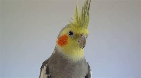 ¿Qué tipos de pájaros ninfa hay?   Housepet