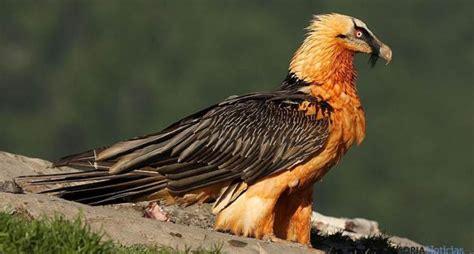quebrantahuesos aves rapaces   www.avesrapaces.wiki   www ...