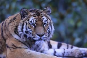 Quelle serait l'origine du tigre ?   Awely Tigres