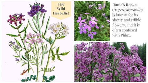 Quick Wildflowers Facts   Dame s Rocket   Wild flowers ...