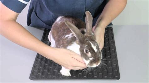 Rabbit Injuries   How to Care for a Injured Rabbit