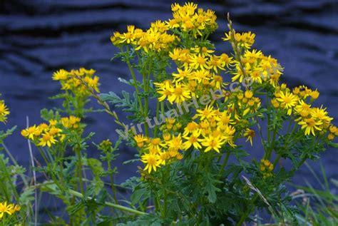 Ragwort   Western Isles Wildflowers   Flowers of The Hebrides