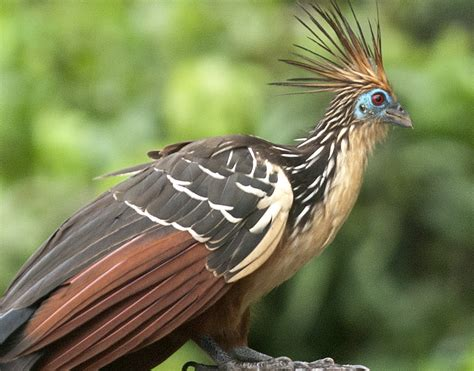 Rainforest Expeditions   Wildlife Guide to the Hoatzin