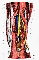 Ramas de la femoral entre la laguna vascular y el ...