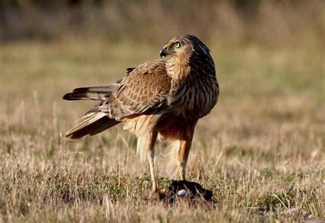 Rapaces del mundo: Las aves rapaces de Nueva Zelanda.