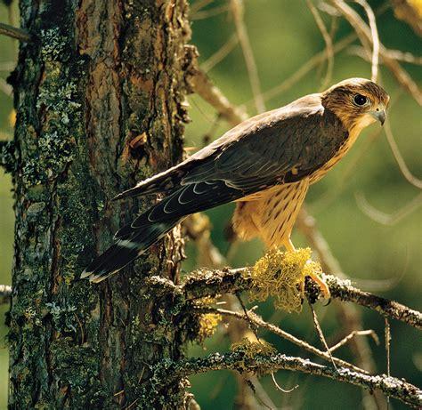 Raptor | bird | Britannica