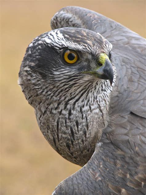 Raptor migration at Hawk Ridge Bird Observatory:  so cool