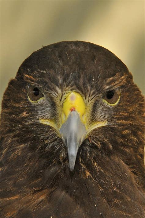 Raptor Rapture: Birds of Prey and the Sport of Falconry ...