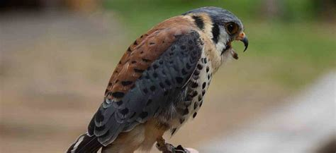 Raptors   Birds Of Prey | Backyard Birding Blog