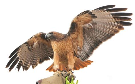 RAPTOR'D | Experts discuss impact of the use of birds of ...