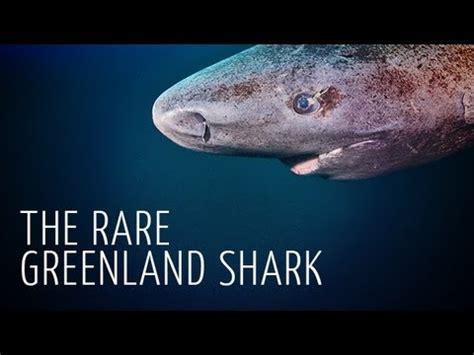 Rare Encounter with Greenland Shark   Adam Ravetch   YouTube
