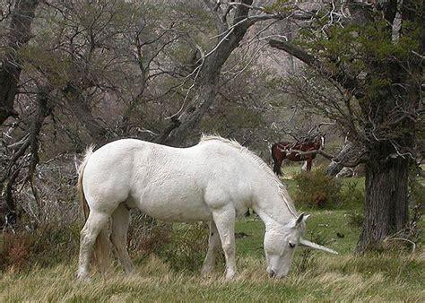 Rare sighting of the Patagonian Unicorn  unicornicus ...