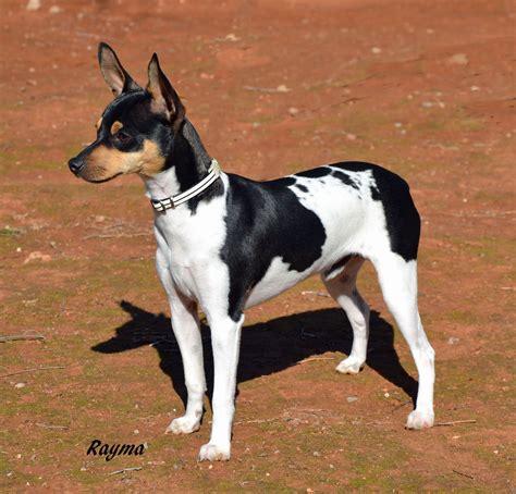 Ratonero Valenciano   spanish breeds dogs   Pinterest ...