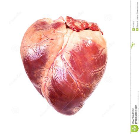 Real heart stock photo. Image of body, organ, eating ...