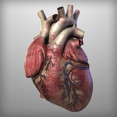 Real Human Heart   Cliparts.co