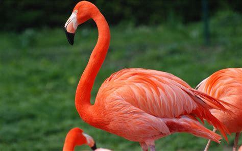Red Flamingo Desktop Wallpaper Hd For Mobile Phones And ...