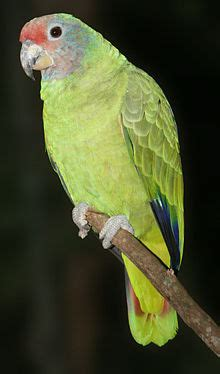 Red tailed amazon   Wikipedia