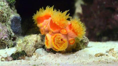 Reef Tank 2: Feeding Dendrophyllia Dendro Coral Eating NLS ...