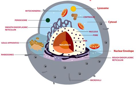 Regions of the Cell The 3 Main Regions of the Cell are 1 ...