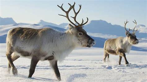 Reindeer Dream Symbol
