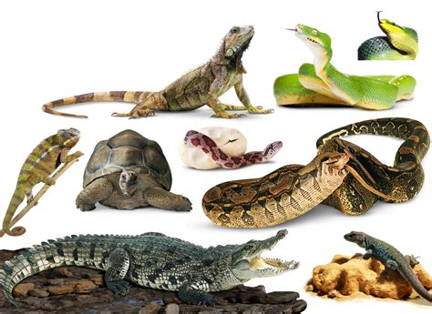 Reptiles Pictures   Amazing Wallpapers