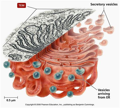 Research paper: Structural organization of the Golgi apparatus