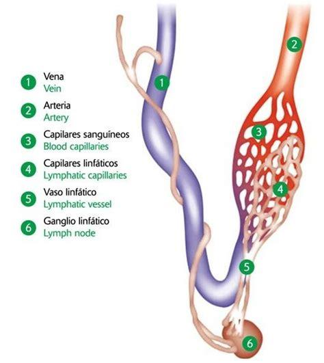 reseña histórica de sistema linfatico | linfa ...