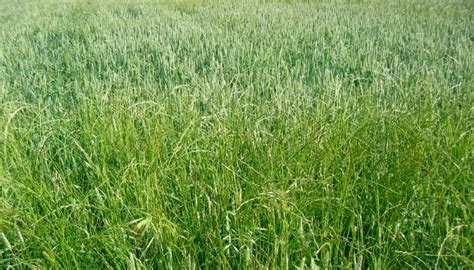 Resistencia a herbicidas en las malas hierbas de cereal de ...