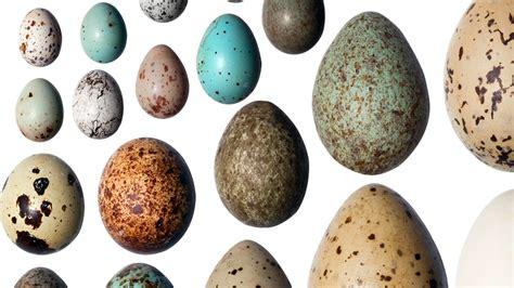 Resuelven el enigma de por qué los huevos son de colores ...