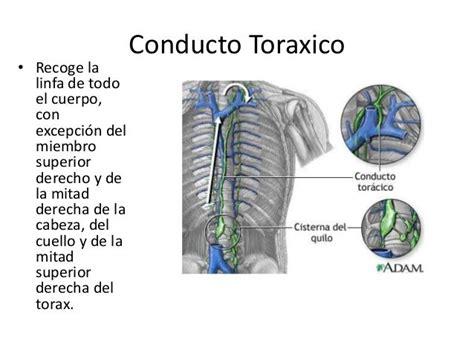 Resultado de imagen de conducto toracico | músculo del ...