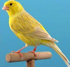 Resultado de imagen para canarios verdes | Canarios ...