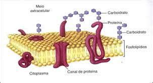 Resultado de imagen para membrana plasmatica y sus partes