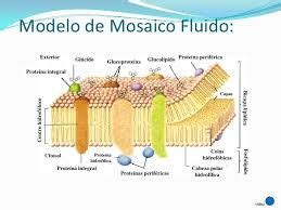 Resultado de imagen para membrana plasmatica y sus partes ...