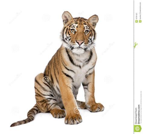 Retrato Del Tigre De Bengala, 1 Año, Sentándose Imagen de ...