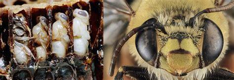 Revelan historia evolutiva de las abejas | Fumigadora ...
