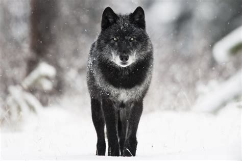 Review – The Pipestone Wolves: The Rise and Fall of a Wolf ...
